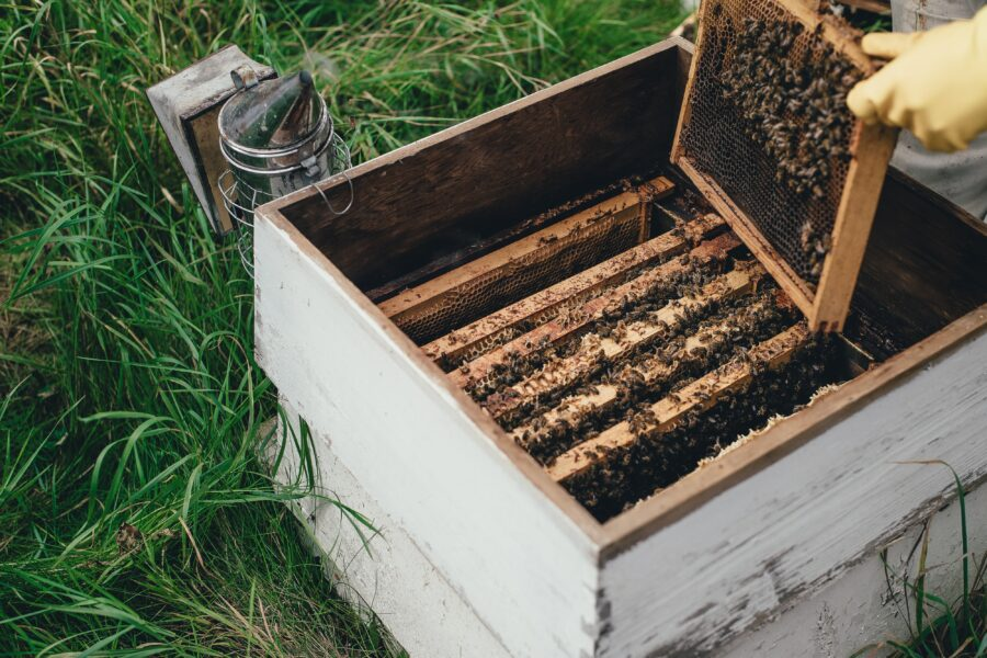 Study could help boost production of high-grade mānuka honey