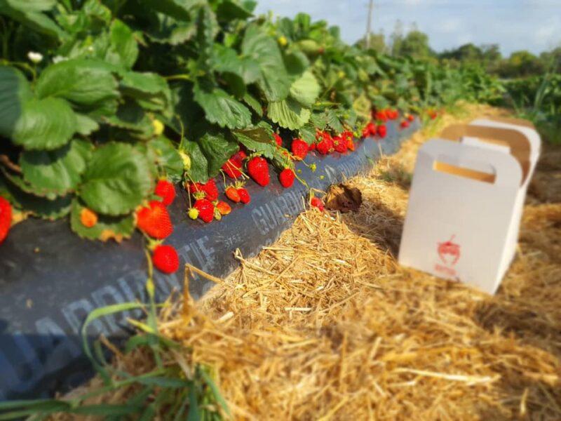 Kiwis picking own 'answer' to RSE shortage – berry farmer