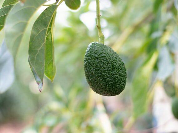 """Avocado earnings jump 47% to reach """"extraordinary"""" $227m"""