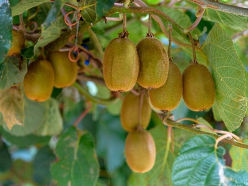 Kiwifruit Breeding Centrelaunches