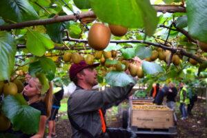 Kiwifruit harvest success despite labour issues