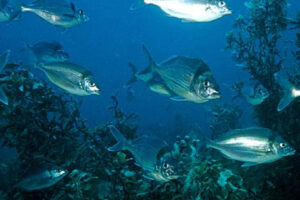 Feedback sought on catch limits for east coast tarakihi