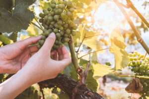 Organic sav vineyard for sale