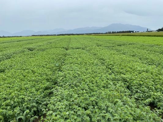 New grain legume varieties a step closer to commercial use