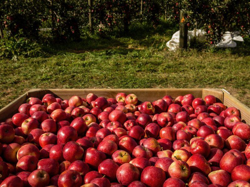 Organic apple exports to China jump 136% – Bostock