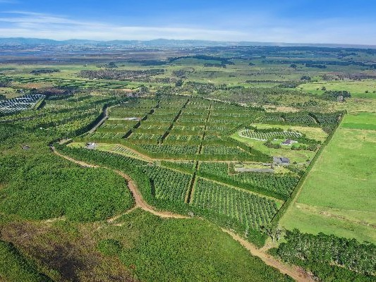 Northland avocado orchard on the block