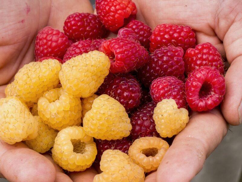 T&G Global hopes to bear fruit from genetics, variety venture