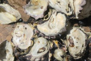NZ rock oyster industry revival being scoped